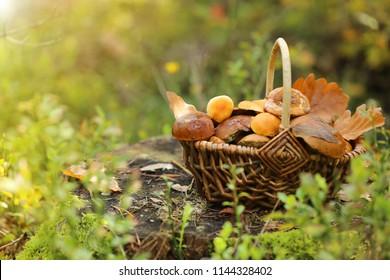 mushroom. mushrooms oily in a wicker basket on a stump in the autumn forest in the rays of the sun.Autumn season. Autumn mood.Autumn time