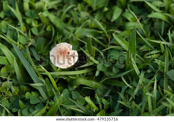 Mushroom occurs naturally on grass.