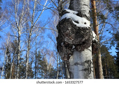 Mushroom on a birch - chaga. Birch tinder fungus.  Oxidoreduction. Winter forest. Medicinal Chaga Mushroom. Growth on a birch, a tree. Inonotus obliquus