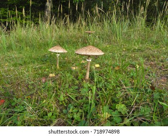 Mushroom on the meadow.