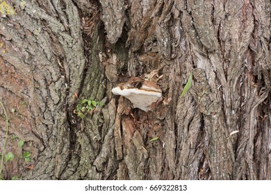 Mushroom on tree trunk