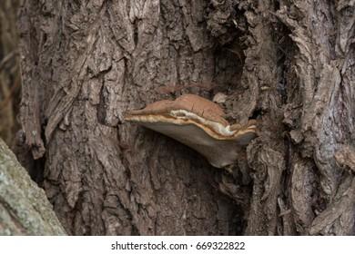 Mushroom on tree trunk
