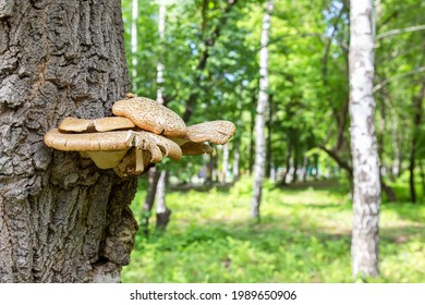Mushroom parasite growing on the bark of a tree in a city park