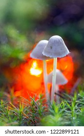 mushroom simply elf screen in forestry area Ruinen, the Netherlands