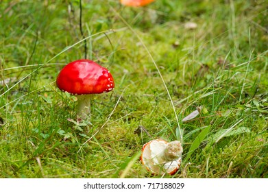 Mushroom in Swedish autumn Forest