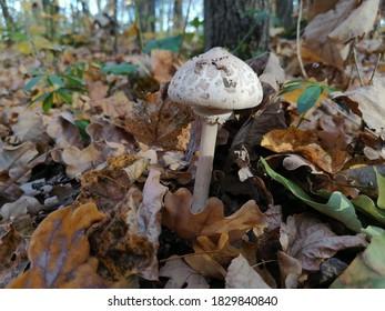 Mushroom umbrella in autumn forest September month