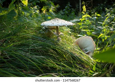 Mushrooming. A walk in the woods. Mushrooms growing in the woods. This is and culinary excellence, the parasol mushroom (Macrolepiota procera or Lepiota procera). Mushrooms growing in the grass.
