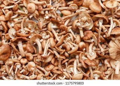 mushrooms agaric honey / many mushrooms agaric honey on closeup