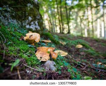Mushrooms in the Asiago woods
