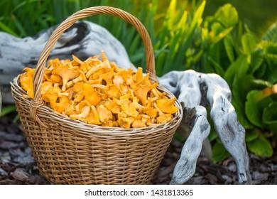 Mushrooms chanterelle in the basket. Raw wild mushrooms chanterelles