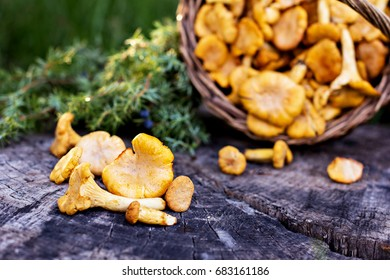 Mushrooms chanterelle in the basket. Raw wild mushrooms chanterelles in basket with dill on wooden background.  Composition with wild mushrooms