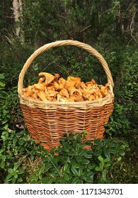 Mushrooms, chanterelle, Golden chanterelle