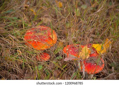 mushrooms - fly agarics in a dry grass