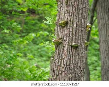 Mushrooms Growing On the Bark Of An Oak Tree