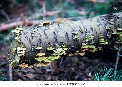 mushrooms growing on a felled tree