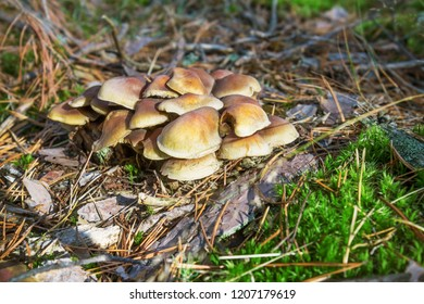 Mushrooms honey agarics grow on the ground, in the forest, Russia
