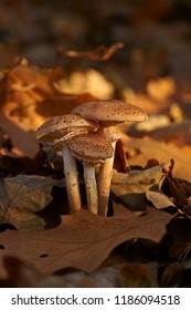 Mushrooms, Honey fungus (Armillaria)