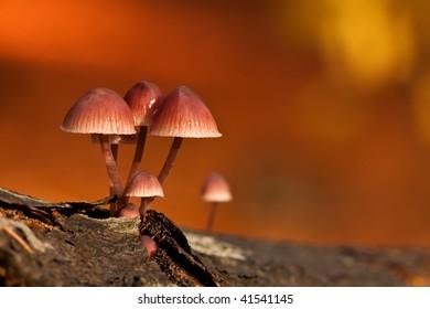 Mushrooms Mycena haematopus