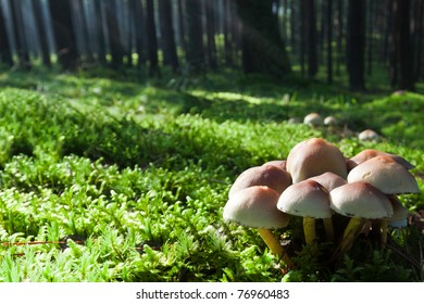 Mushrooms on mossy green meadow in misty forest