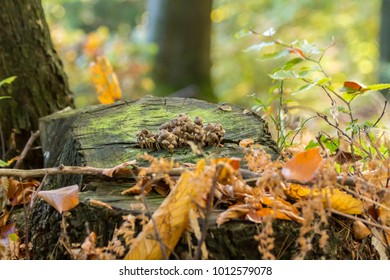 Mushrooms on a stump