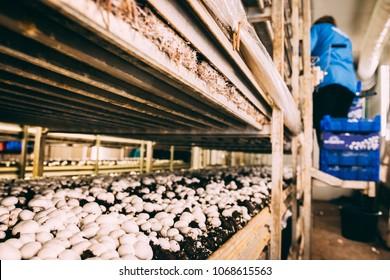 Mushroom Farm Images, Stock Photos & Vectors | Shutterstock