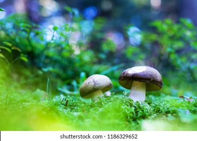 Mushrooms in summer forest. Nature photography