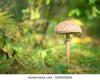 mushroom-umbrella in the autumn forest, in a clearing in the sun