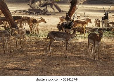 Musk Deer/Sangai Deer/Indian Deer