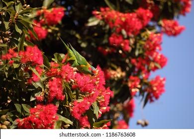 A Musk Lorikeet feeding on gum tree flowers