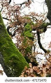 Musk oak tree in an autumn day