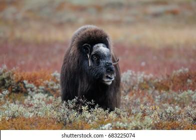 Musk ox in the autumn tundra, dovrefjell, norway, (ovibos moschatus)