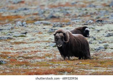 Musk ox in a autumn tundra, (ovibos moschatus), dovrefjell, norway