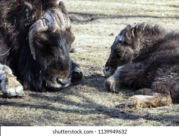 Musk ox and it's baby lying on the grass close-up. Resting animals.