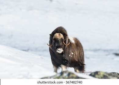 Musk Ox at Dovrefjell National Park, Norway
