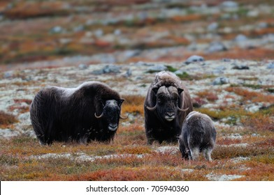 Musk ox herd in a autumn landscape, dovrefjell, norway, (ovibos moschatus)
