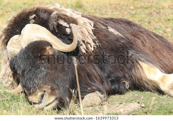 musk ox lying on grass and dozing