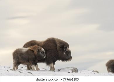 Musk Ox on mountain