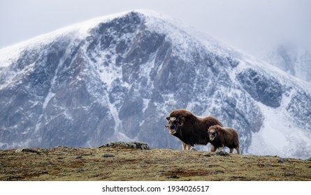 Musk ox (Ovibos moschatus) with calf in autumn landscape in Dovr