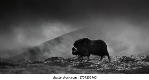 Musk Ox, Ovibos moschatus, with mountain Snoheta in the background, big animal in the nature habitat, Prehistoric animal living in hard conditions. Dovrefjell National Park in Norway.