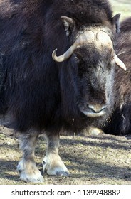 Musk ox standing on the grass close-up. Big animals.