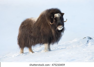 Musk Ox in Winter, Norway.