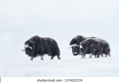Musk Oxen (Ovibos moschatus) with a young musk ox in snowy Dovrefjell mountains during cold winter in Norway.