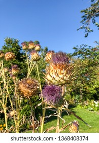 Musk thistle (Carduus nutans) is a biennial herb in the Asteraceae, sunflower family.
