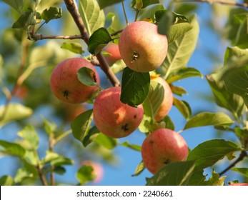 Muskoka Apples