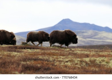 Muskox in Dovrefjell national park, Norway