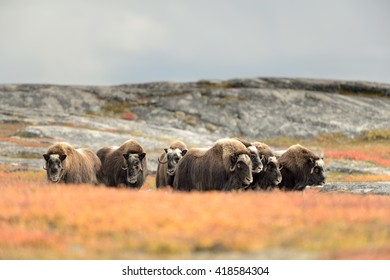 Muskox Group (Ovibos moschatus)