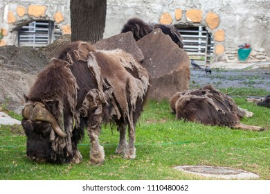 Muskox in the Moscow Zoo