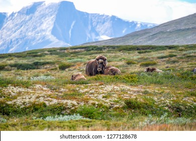 The muskox (Ovibos moschatus), or musk ox/musk-ox, is an Arctic hoofed mammal of the family Bovidae. Plateau/mountain natural environment. Dovrefjell–Sunndalsfjella National Park, Norway.