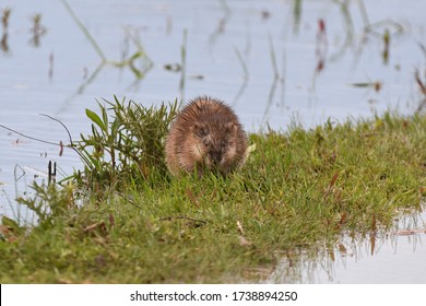 A muskrat in a flooded area nibbles on spring grass.