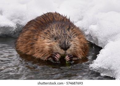 muskrat (Ondatra zibethicus) rodent,wildlife shot on river Drevnice,Czech republic
